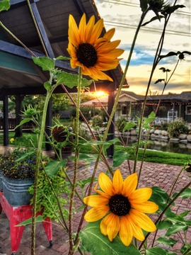Gardner Village. Photo by Marcus Barrett - Sunflowers at Gardner Village
