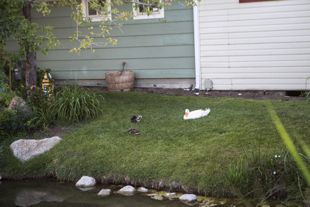 ducks in gardner village